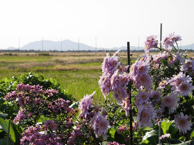 a chrysanthemum flowers and Yahiko Mountain in Niigata Plains